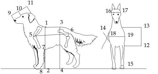 Измерение собаки: